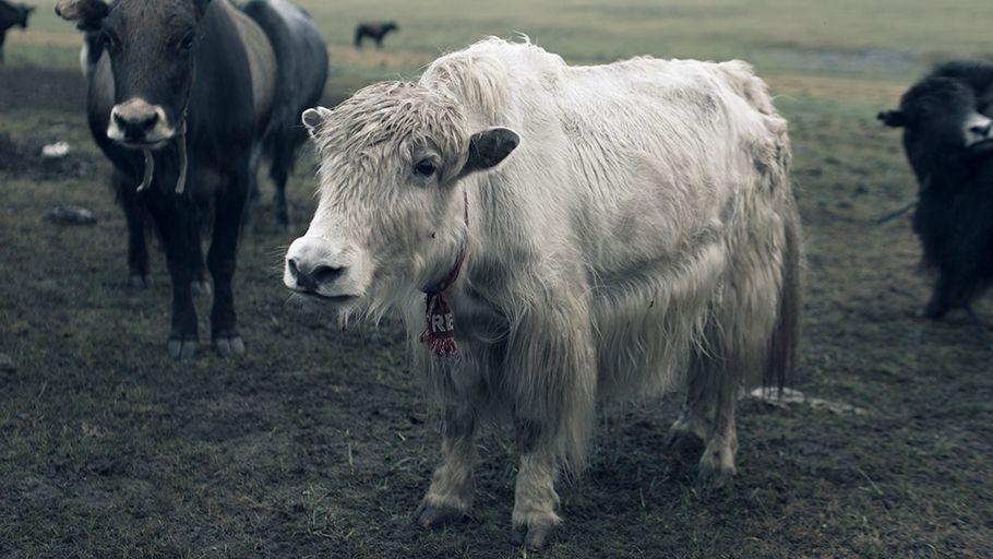 Mongolian Yak Image - Huntsman and Tengri's rare Khangai Noble Yarns